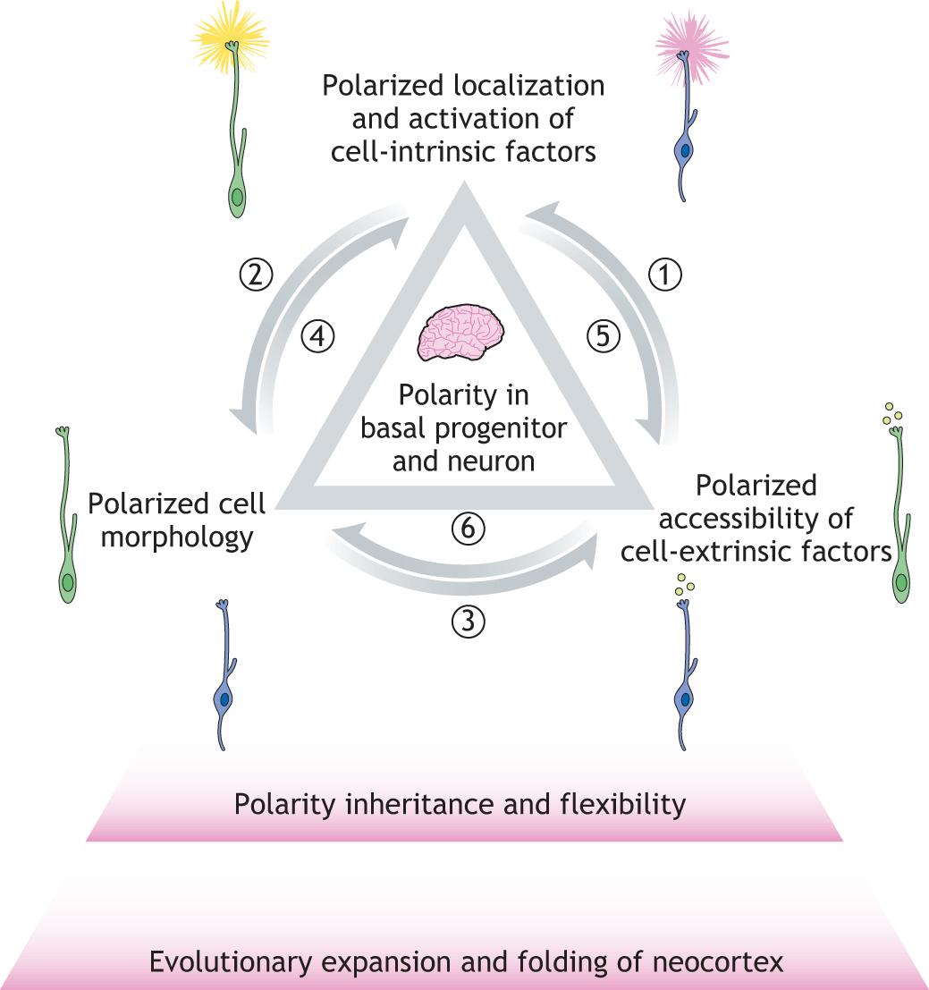 A novel view on mammalian brain development